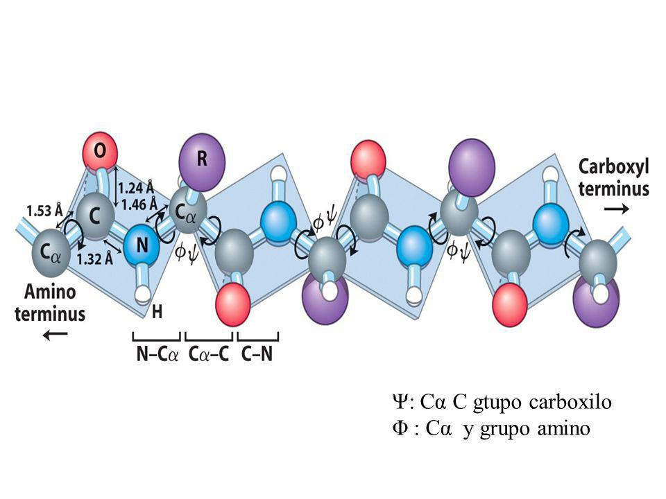 Ψ: Cα C gtupo carboxilo Φ : Cα y grupo amino