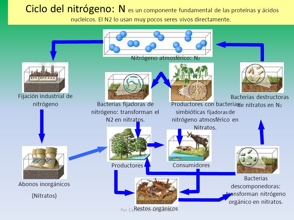 Ciclo del nitrógeno: N es un componente fundamental de las proteínas y ácidos nucleicos. El N2 lo usan muy pocos seres vivos directamente.