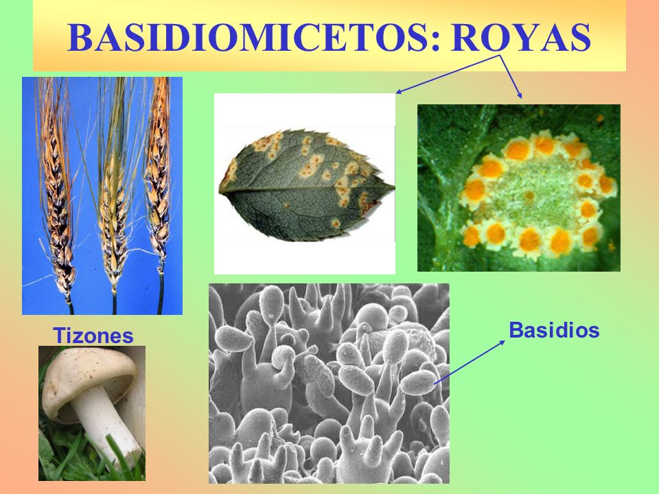 BASIDIOMICETOS: ROYAS