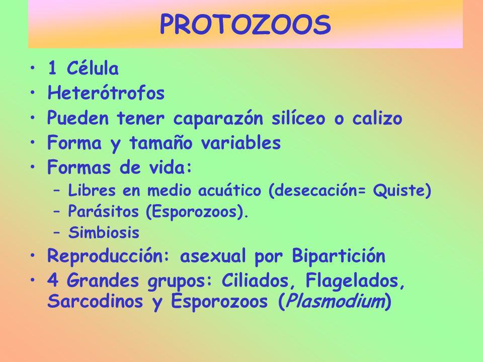 PROTOZOOS 1 Célula Heterótrofos