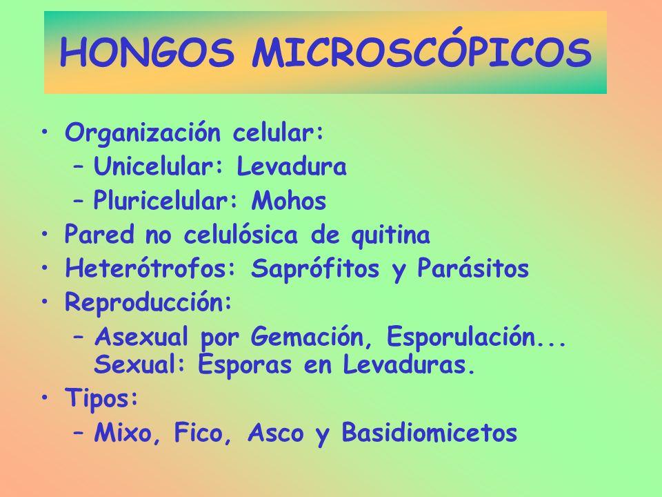 HONGOS MICROSCÓPICOS Organización celular: Unicelular: Levadura