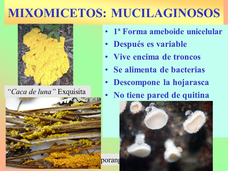 MIXOMICETOS: MUCILAGINOSOS