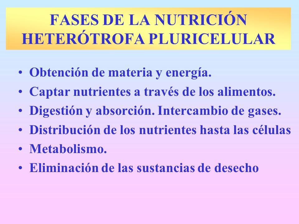 FASES DE LA NUTRICIÓN HETERÓTROFA PLURICELULAR