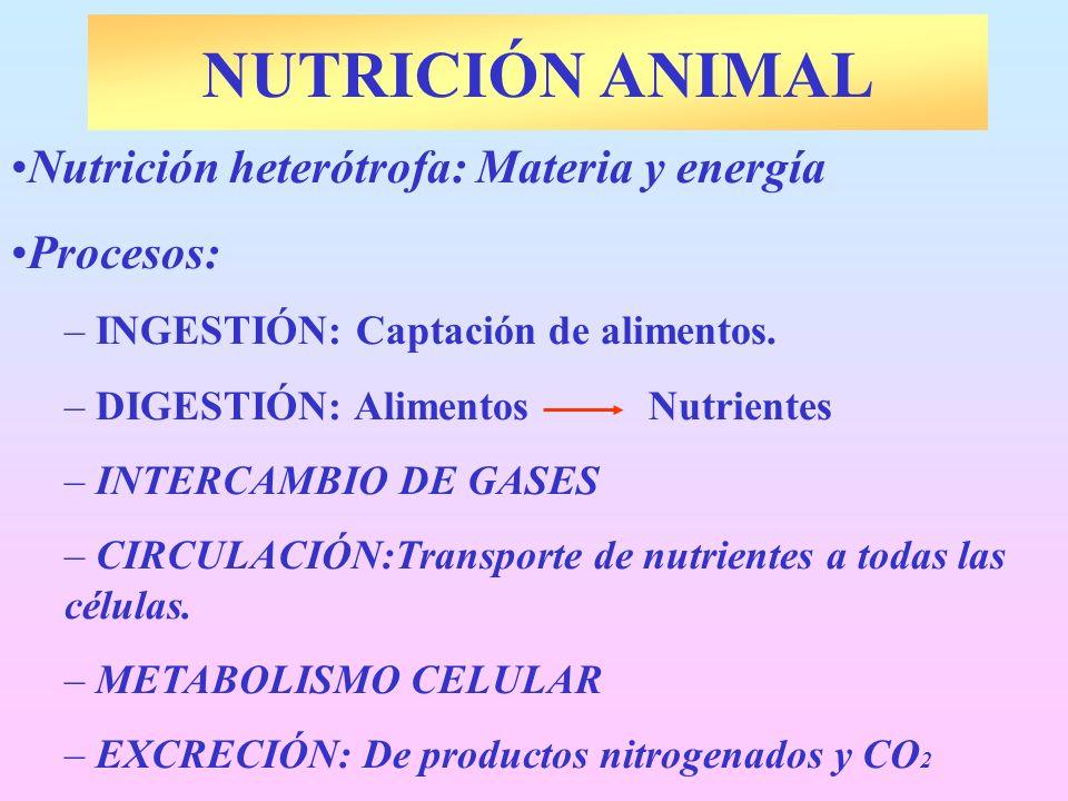 NUTRICIÓN ANIMAL Nutrición heterótrofa: Materia y energía Procesos: