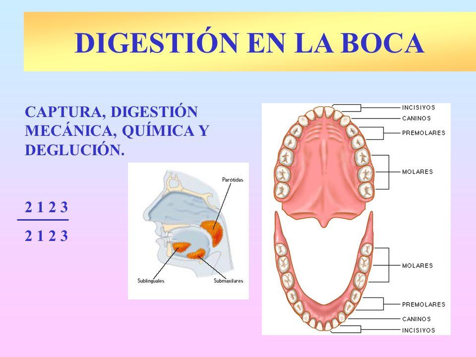 DIGESTIÓN EN LA BOCA CAPTURA, DIGESTIÓN MECÁNICA, QUÍMICA Y DEGLUCIÓN.