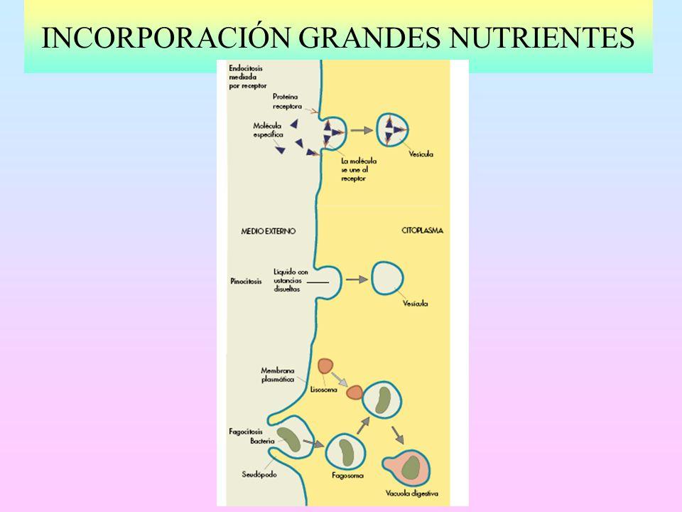 INCORPORACIÓN GRANDES NUTRIENTES