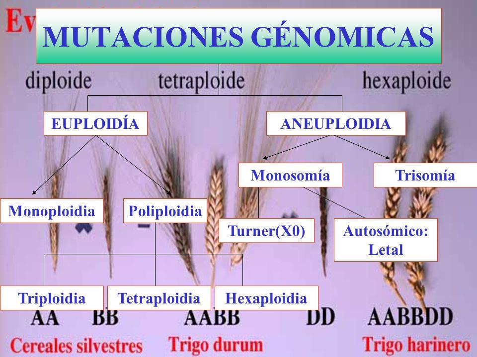 MUTACIONES GÉNOMICAS EUPLOIDÍA ANEUPLOIDIA Monosomía Trisomía