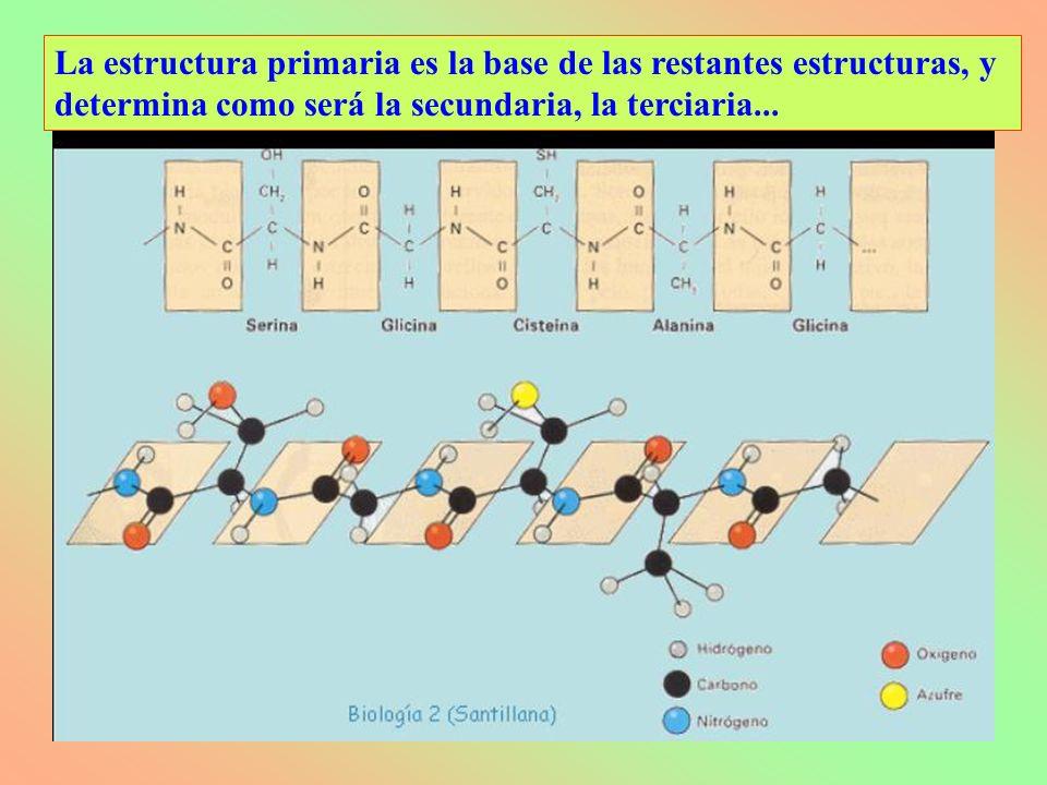La estructura primaria es la base de las restantes estructuras, y determina como será la secundaria, la terciaria...
