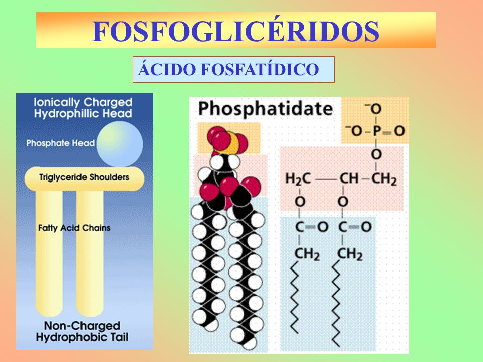 FOSFOGLICÉRIDOS ÁCIDO FOSFATÍDICO
