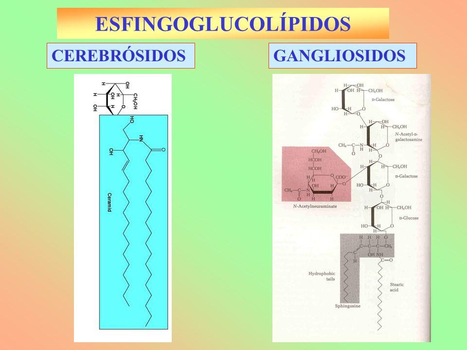 ESFINGOGLUCOLÍPIDOS CEREBRÓSIDOS GANGLIOSIDOS