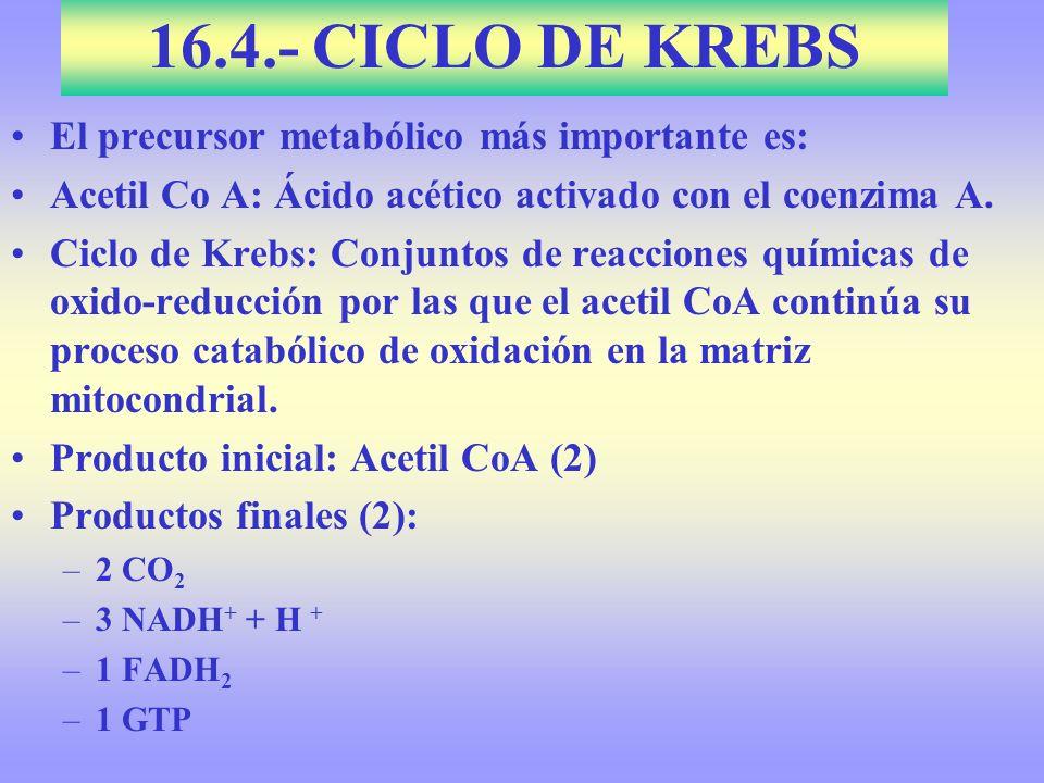 16.4.- CICLO DE KREBS El precursor metabólico más importante es: