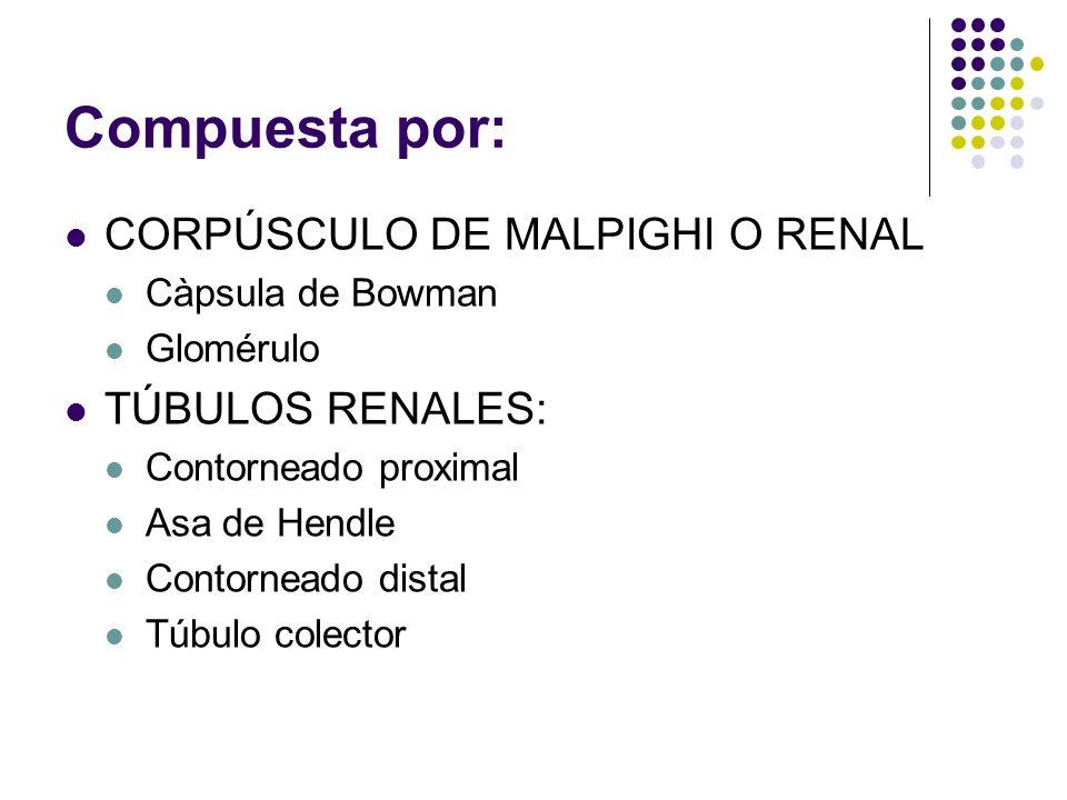 Compuesta por: CORPÚSCULO DE MALPIGHI O RENAL TÚBULOS RENALES: