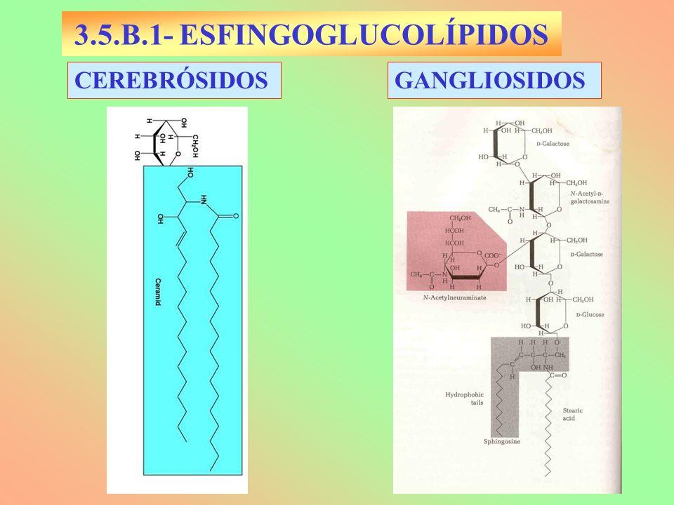 3.5.B.1- ESFINGOGLUCOLÍPIDOS