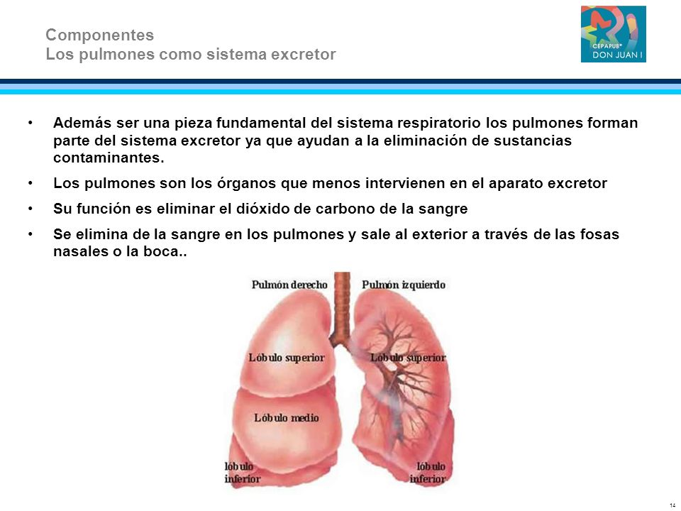 Los pulmones como sistema excretor