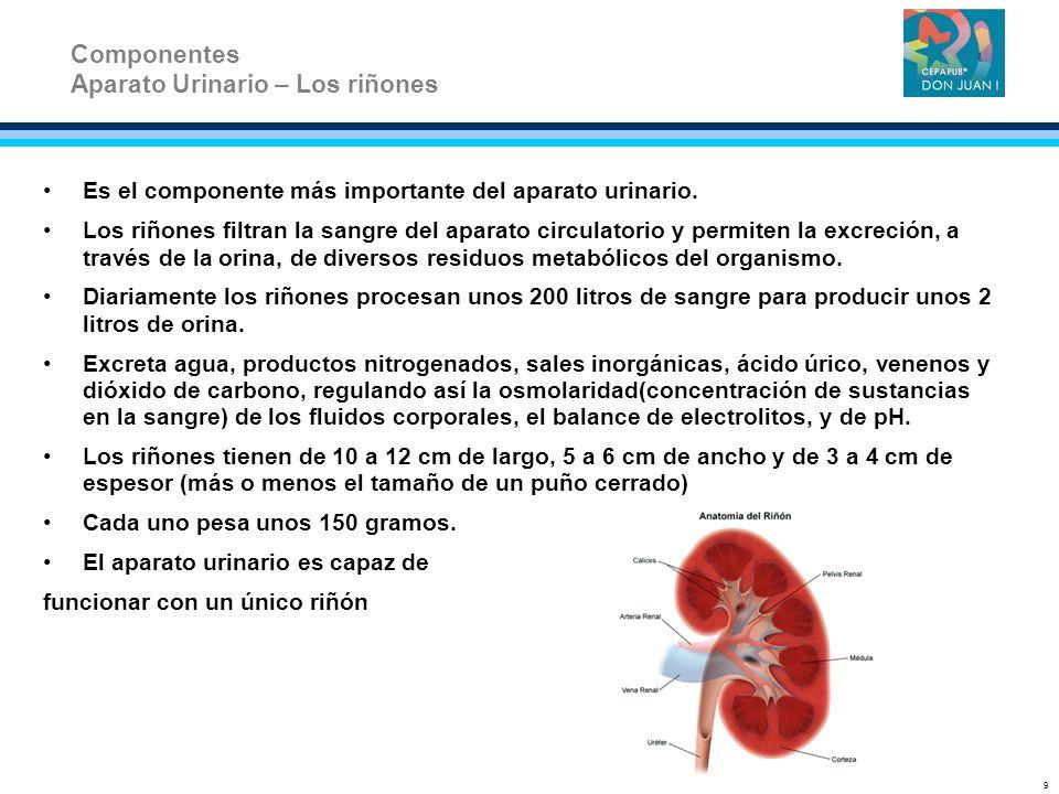 Aparato Urinario – Los riñones