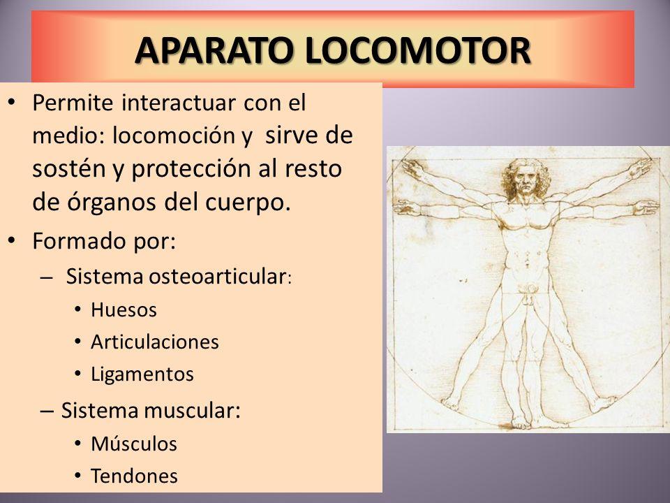 APARATO LOCOMOTOR Permite interactuar con el medio: locomoción y sirve de sostén y protección al resto de órganos del cuerpo.