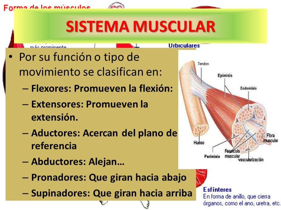 SISTEMA MUSCULAR Por su función o tipo de movimiento se clasifican en: