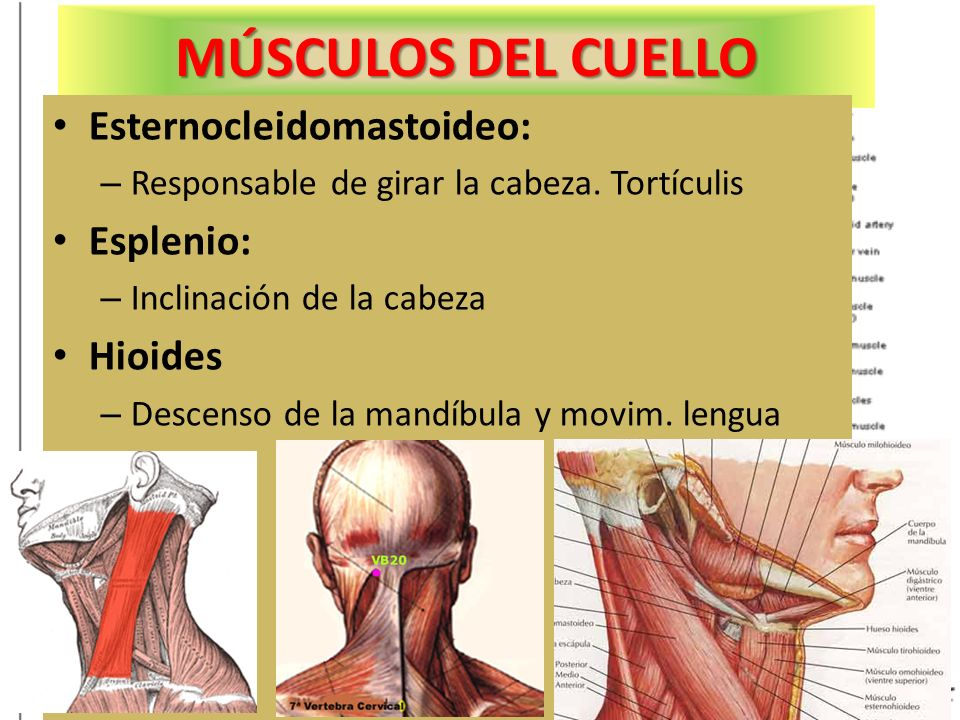 MÚSCULOS DEL CUELLO Esternocleidomastoideo: Esplenio: Hioides