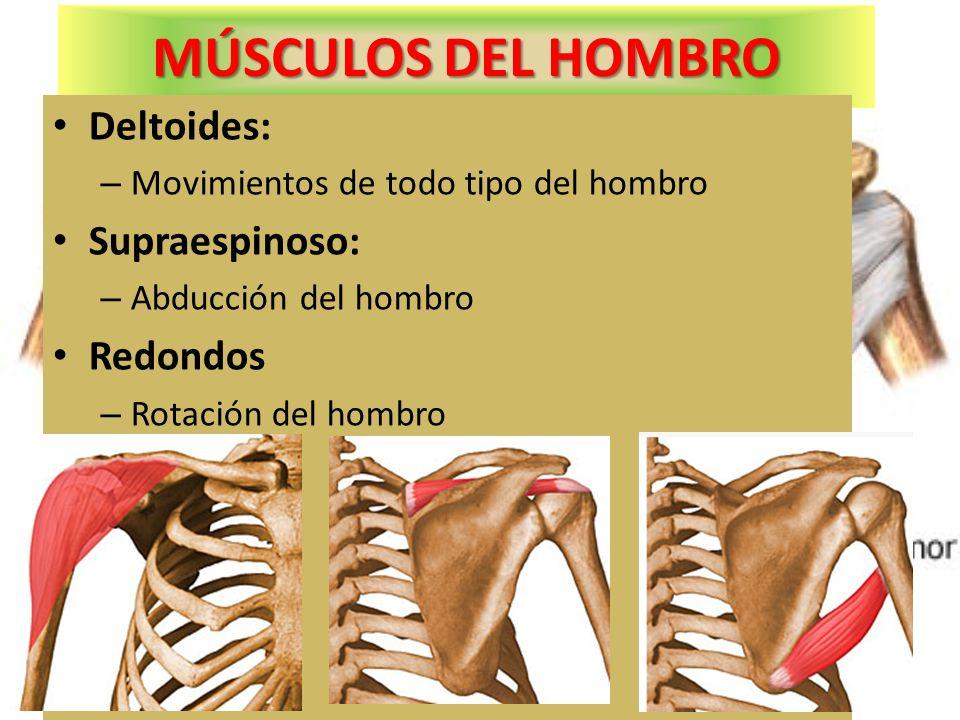 MÚSCULOS DEL HOMBRO Deltoides: Supraespinoso: Redondos