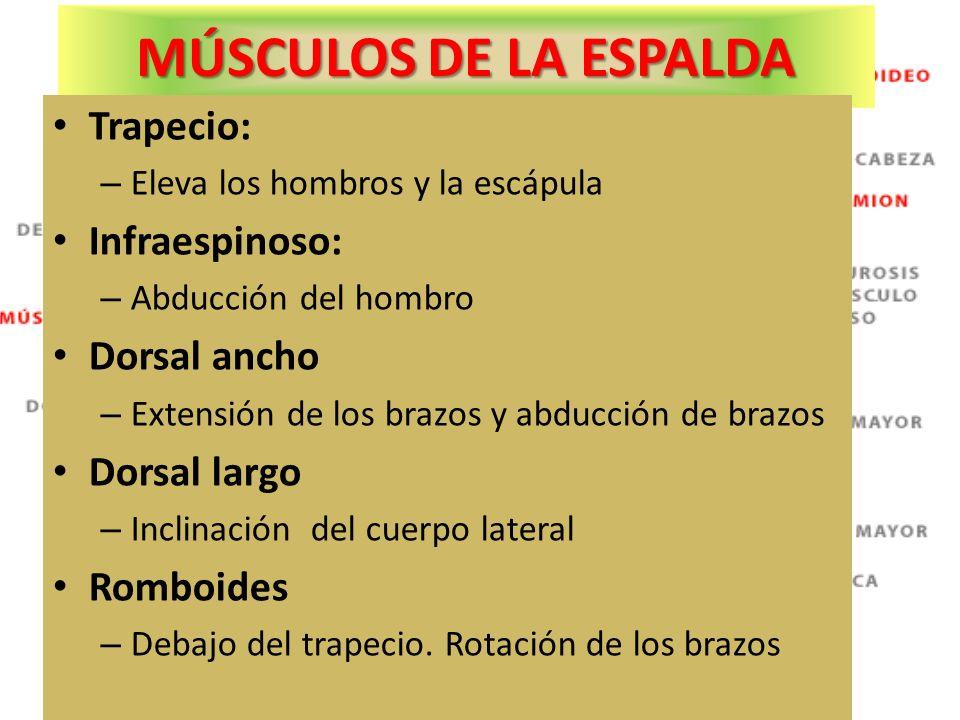 MÚSCULOS DE LA ESPALDA Trapecio: Infraespinoso: Dorsal ancho