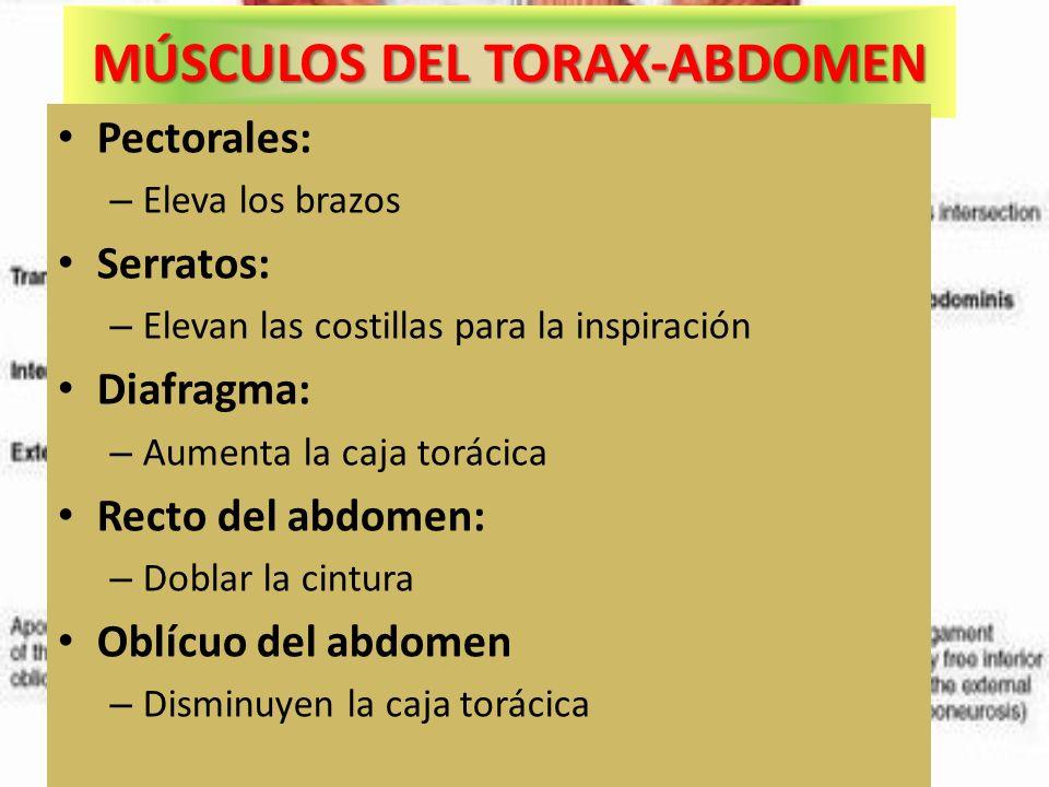 MÚSCULOS DEL TORAX-ABDOMEN