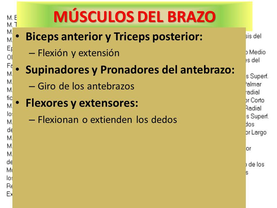 MÚSCULOS DEL BRAZO Biceps anterior y Triceps posterior: