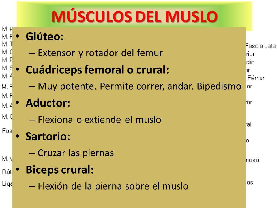 MÚSCULOS DEL MUSLO Glúteo: Cuádriceps femoral o crural: Aductor: