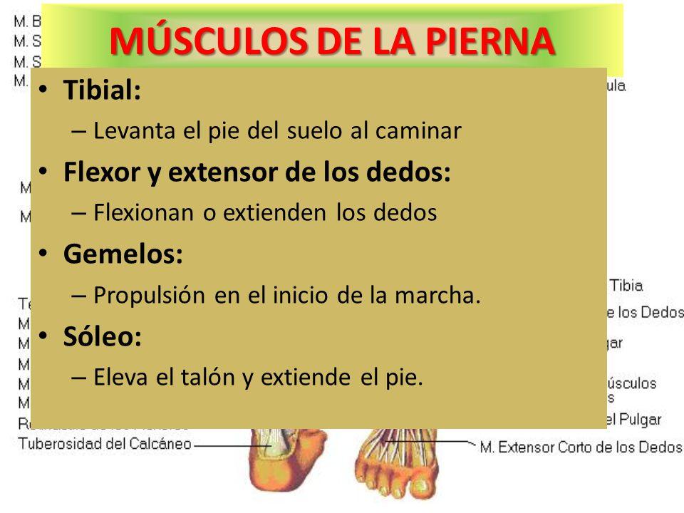 MÚSCULOS DE LA PIERNA Tibial: Flexor y extensor de los dedos: Gemelos: