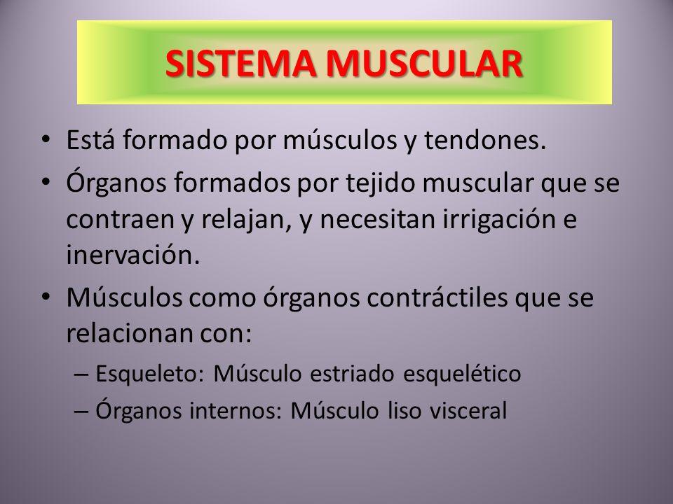 SISTEMA MUSCULAR Está formado por músculos y tendones.