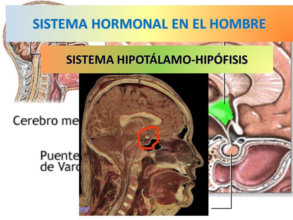 SISTEMA HORMONAL EN EL HOMBRE