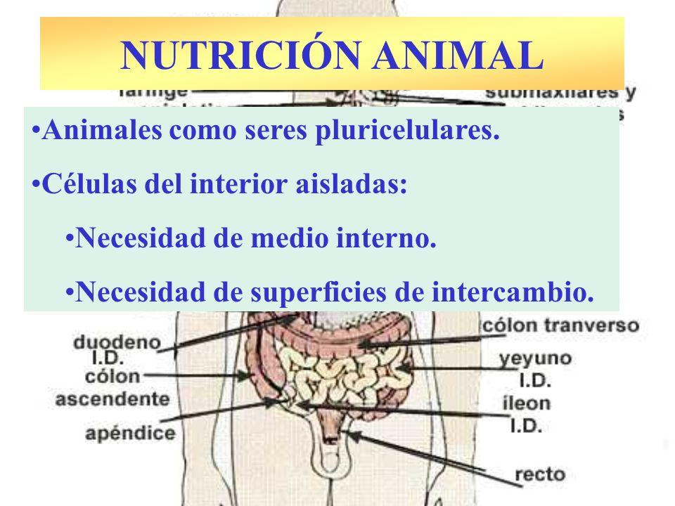 NUTRICIÓN ANIMAL Animales como seres pluricelulares.