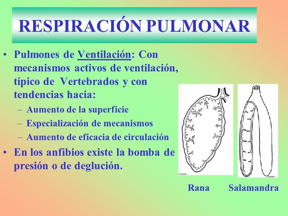 RESPIRACIÓN PULMONAR Pulmones de Ventilación: Con mecanismos activos de ventilación, típico de Vertebrados y con tendencias hacia: