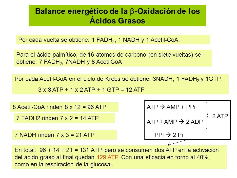 Balance energético de la -Oxidación de los Ácidos Grasos