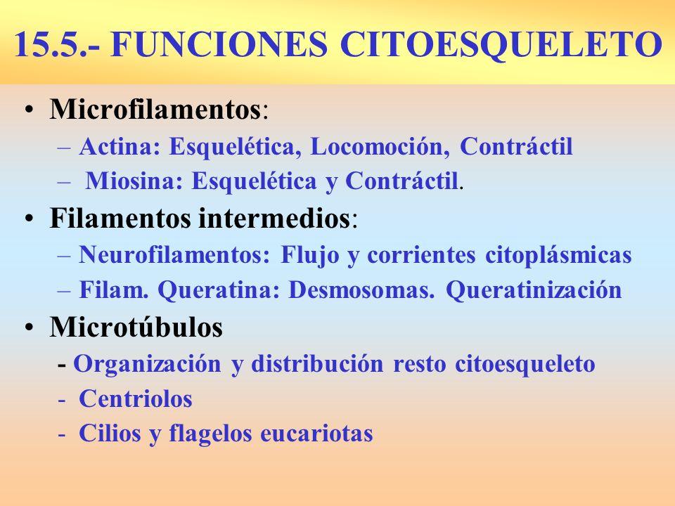 15.5.- FUNCIONES CITOESQUELETO