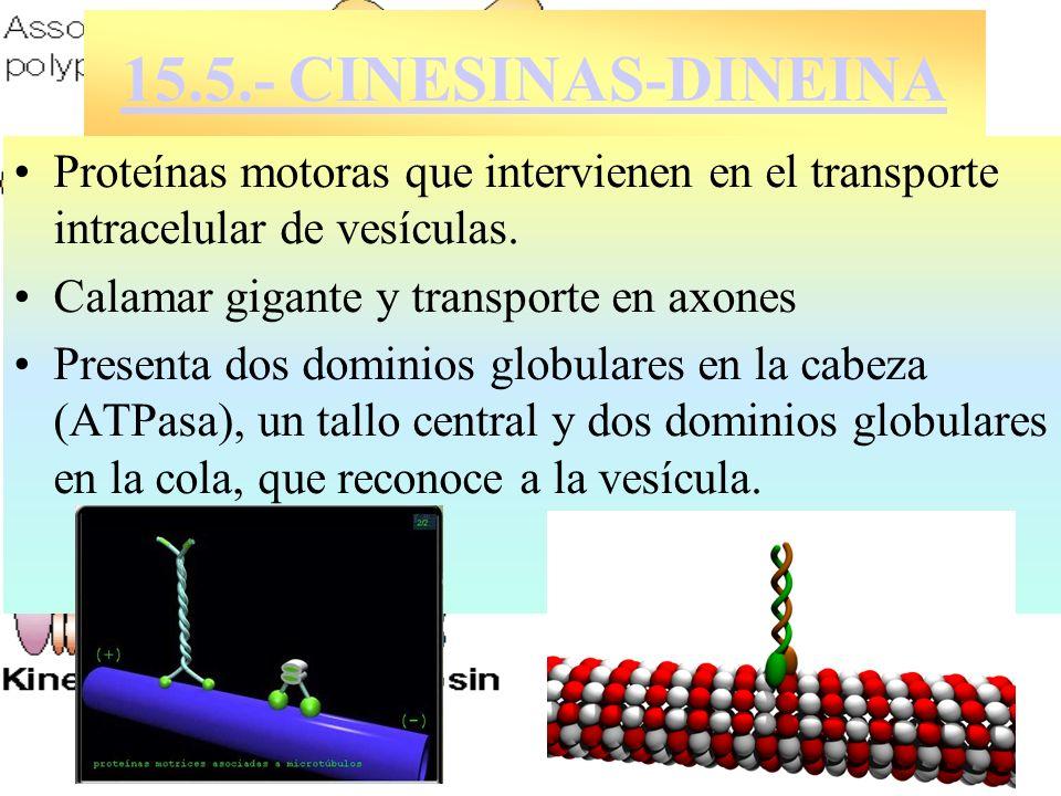 15.5.- CINESINAS-DINEINA Proteínas motoras que intervienen en el transporte intracelular de vesículas.