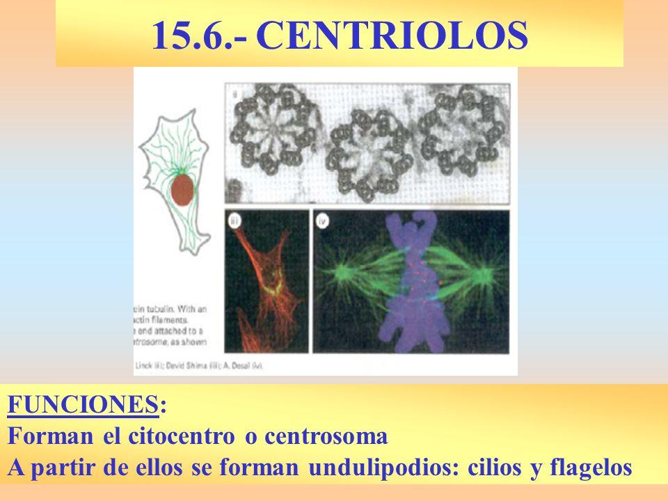 15.6.- CENTRIOLOS FUNCIONES: Forman el citocentro o centrosoma