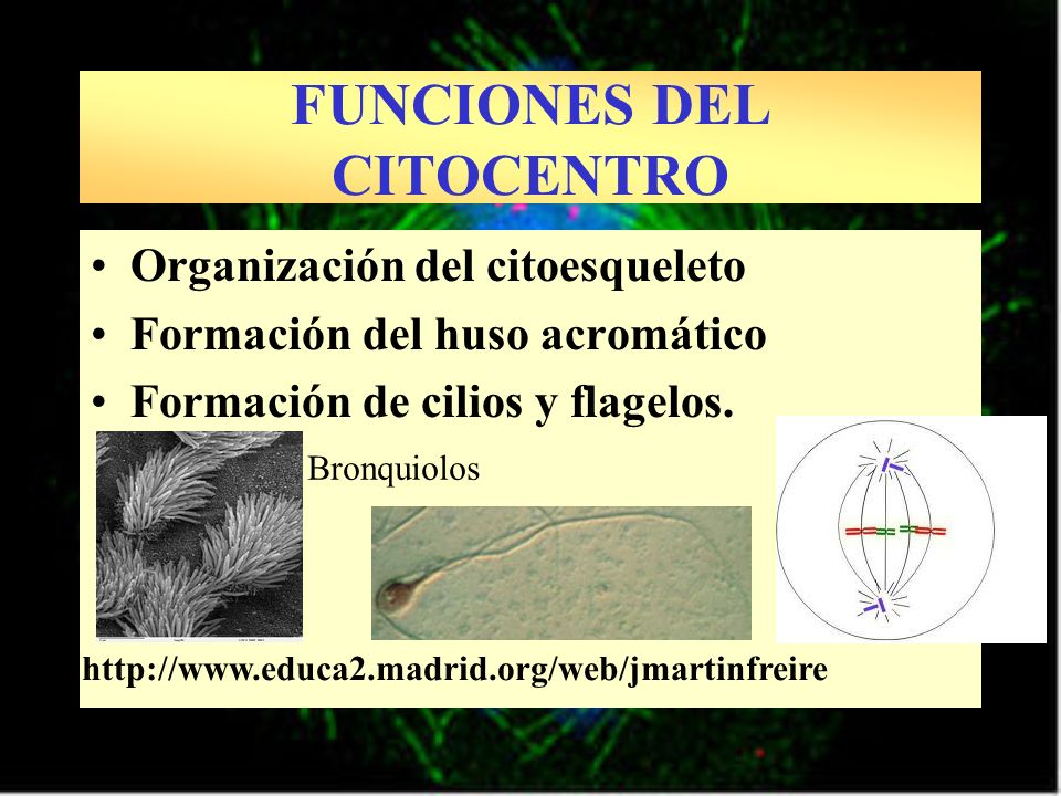 FUNCIONES DEL CITOCENTRO