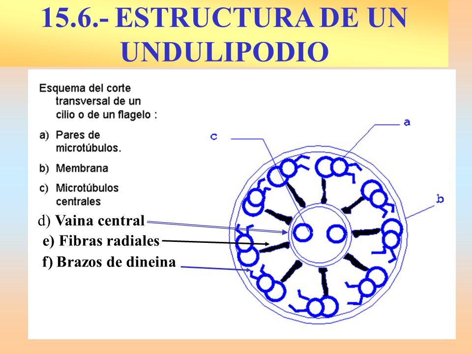 15.6.- ESTRUCTURA DE UN UNDULIPODIO