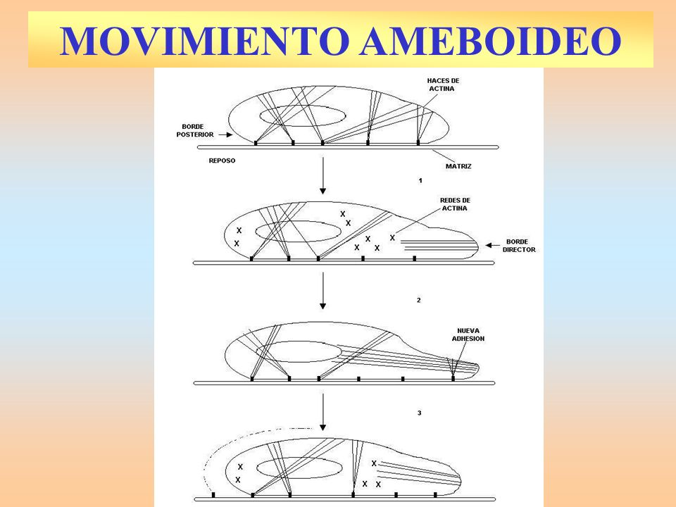 MOVIMIENTO AMEBOIDEO