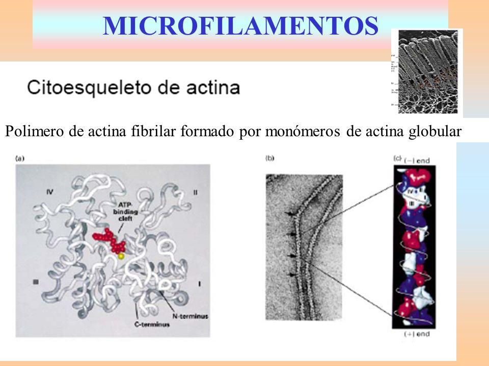 MICROFILAMENTOS Polimero de actina fibrilar formado por monómeros de actina globular