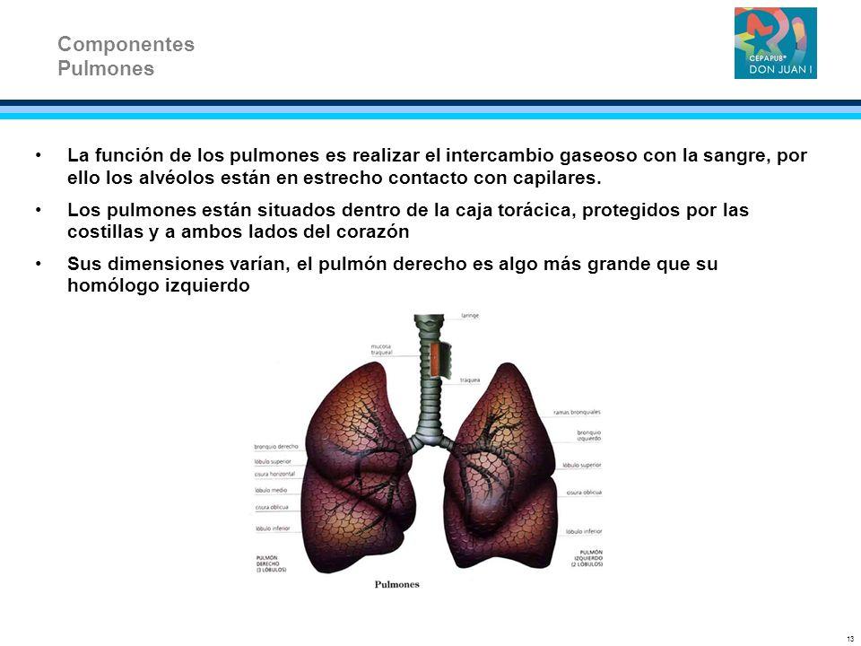 Componentes Pulmones.