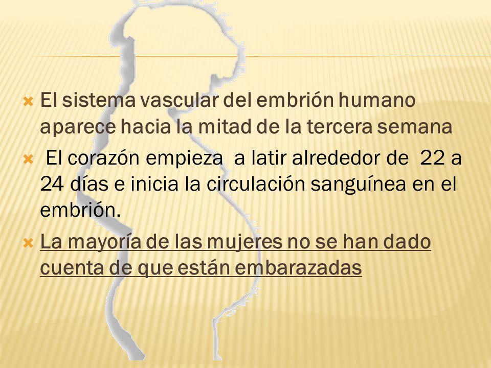El sistema vascular del embrión humano aparece hacia la mitad de la tercera semana