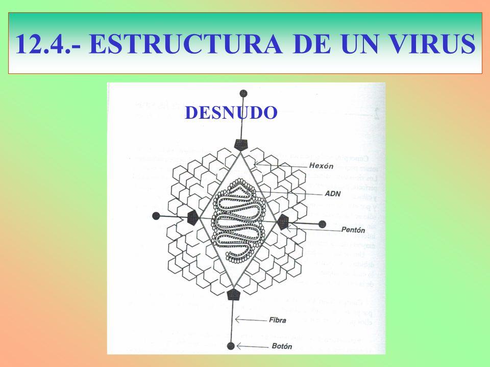 12.4.- ESTRUCTURA DE UN VIRUS