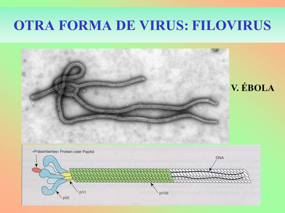 OTRA FORMA DE VIRUS: FILOVIRUS