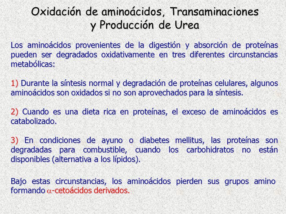 Oxidación de aminoácidos, Transaminaciones y Producción de Urea