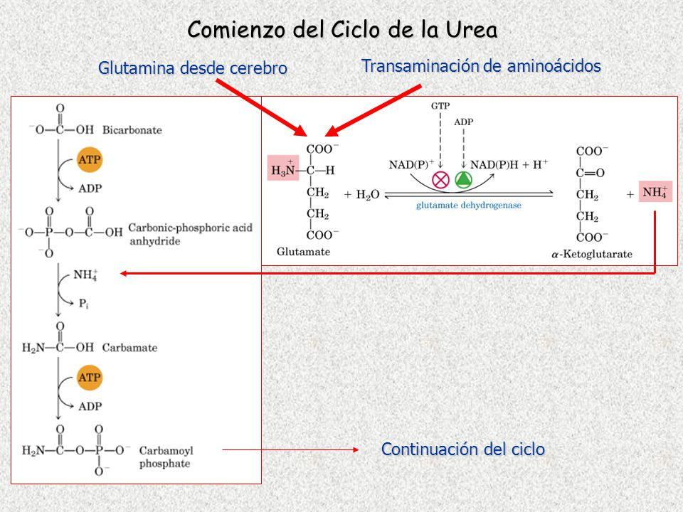 Comienzo del Ciclo de la Urea