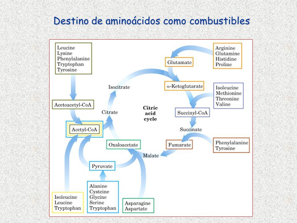 Destino de aminoácidos como combustibles