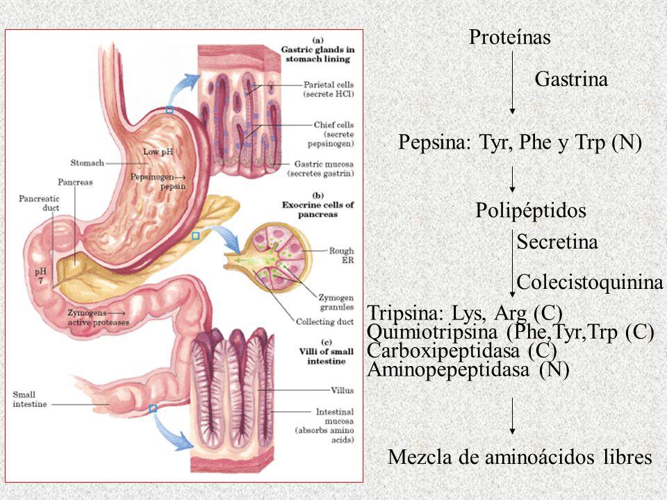 Proteínas Gastrina. Pepsina: Tyr, Phe y Trp (N) Polipéptidos. Secretina. Colecistoquinina.