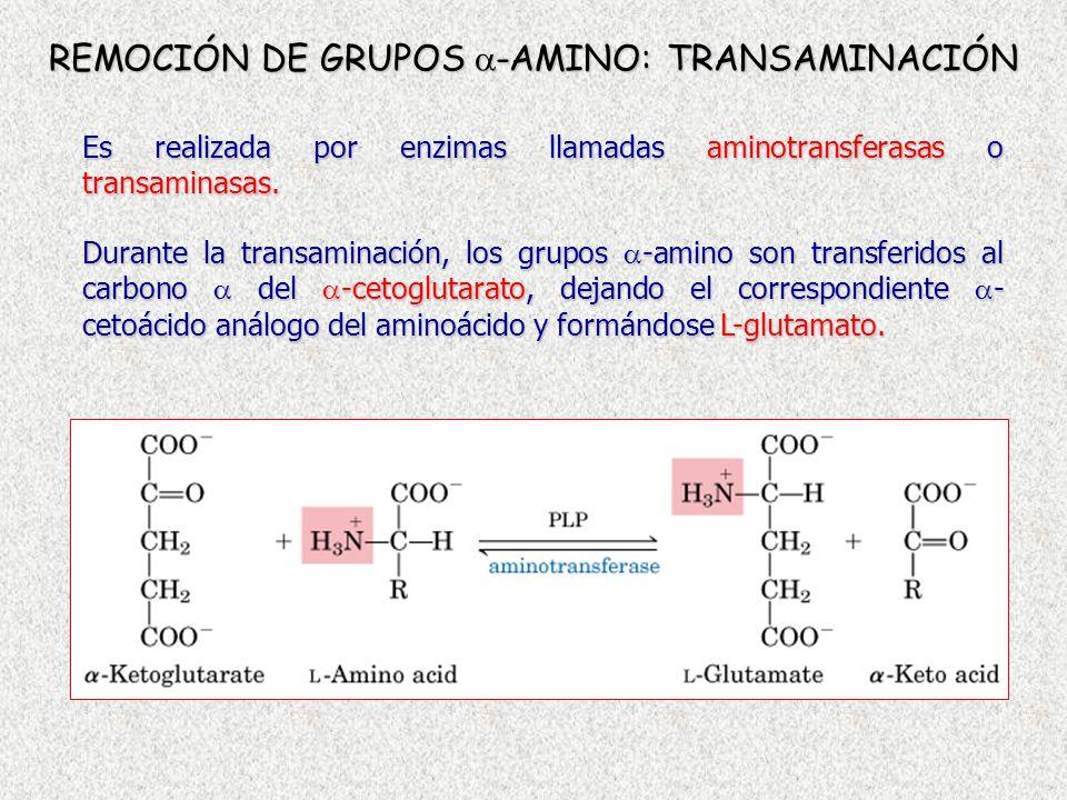 REMOCIÓN DE GRUPOS -AMINO: TRANSAMINACIÓN