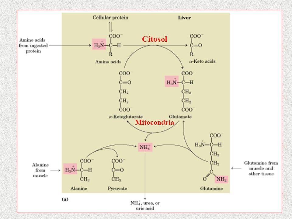 Citosol Mitocondria